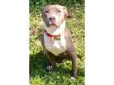 Adopt Collin Congaree a Pit Bull Terrier, Mixed Breed