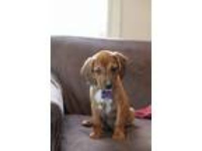 Adopt Bucky a Brown/Chocolate Beagle / Hound (Unknown Type) / Mixed dog in