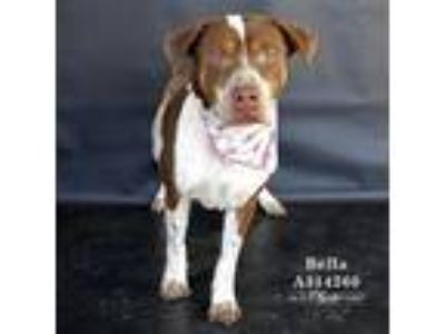 Adopt BELLA a Brown/Chocolate - with White American Pit Bull Terrier / Mixed dog