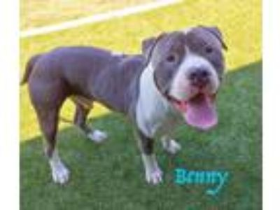 Adopt Benny a Gray/Silver/Salt & Pepper - with White Mastiff / Pit Bull Terrier