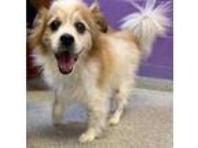 Adopt Toby~19/20-0031 a Tan/Yellow/Fawn Chow Chow / Mixed dog in Bangor
