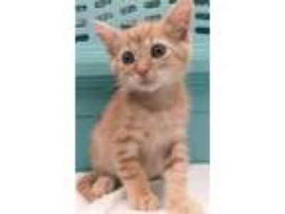 Adopt Doodle Baby a American Shorthair