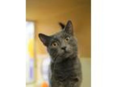 Adopt SMOKEY a Gray or Blue Russian Blue / Mixed (short coat) cat in Hemet