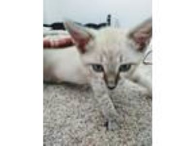 Adopt Luna a Domestic Short Hair, Siamese