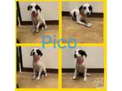 Adopt PICO a Black - with White American Staffordshire Terrier / Labrador