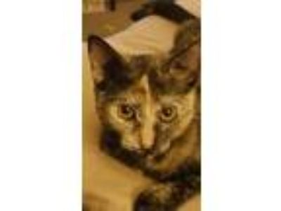 Adopt Shelby a Calico or Dilute Calico American Shorthair (short coat) cat in