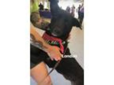 Adopt London**Local June 9th** a Shepherd, Labrador Retriever