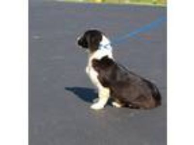 Adopt Holmes a Black - with White Border Collie / Mixed dog in Reeds Spring