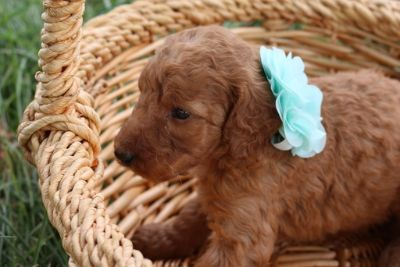 Poodle (Standard) PUPPY FOR SALE ADN-91723 - Cream Apricot Standard Poodle Puppies