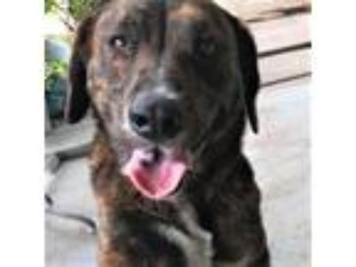Adopt Chula a Brindle Plott Hound / Mixed dog in San Antonio, TX (19924098)