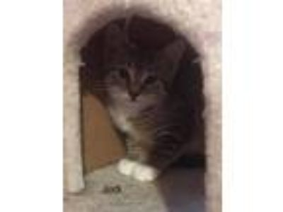 Adopt Jodi a Domestic Shorthair cat in Whitestone, NY (25646261)