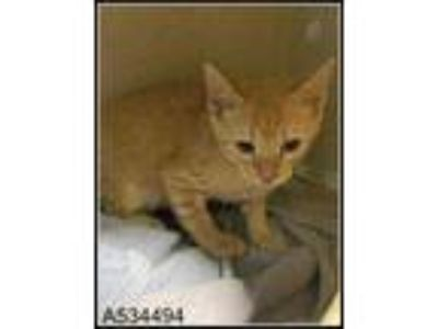 Adopt KITTY a Orange or Red (Mostly) Domestic Shorthair / Mixed (short coat) cat