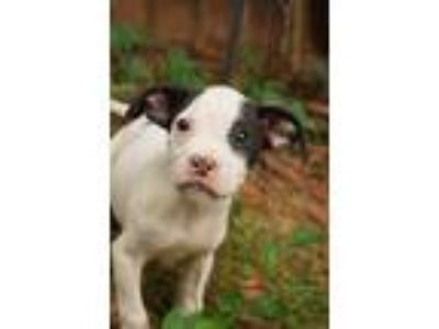 Adopt Lachlan a White - with Black Boxer / Pointer / Mixed dog in Newark