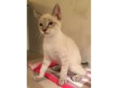Adopt Tucker a Siamese, Domestic Short Hair