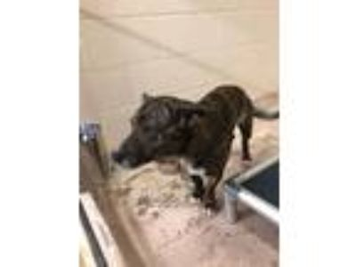 Adopt Henry a Brindle - with White Pit Bull Terrier / Mixed dog in Troy