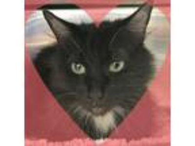 Adopt Jackie a All Black Domestic Mediumhair / Domestic Shorthair / Mixed cat in