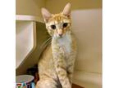 Adopt Portia a Orange or Red (Mostly) Domestic Shorthair (short coat) cat in