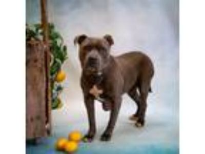 Adopt H2$ Andorian a Pit Bull Terrier
