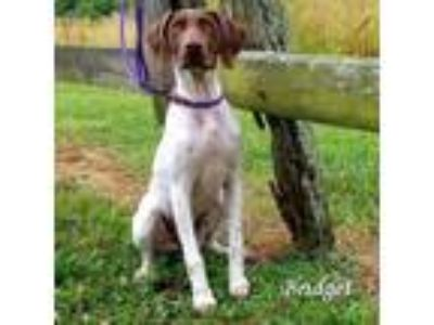 Adopt Bridget a White - with Tan, Yellow or Fawn German Shorthaired Pointer dog