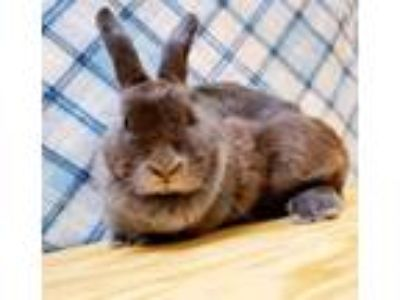 Adopt Dumbo a Grey/Silver Other/Unknown / Other/Unknown / Mixed rabbit in