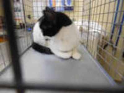 Adopt CRICKET a White (Mostly) Domestic Shorthair / Mixed (short coat) cat in
