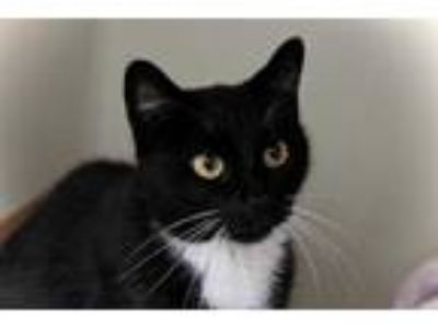 Adopt RYN a Black & White or Tuxedo Domestic Shorthair / Mixed (short coat) cat