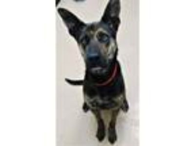 Adopt Nala a Black Dutch Shepherd / Mixed dog in Phoenix, AZ (25334508)