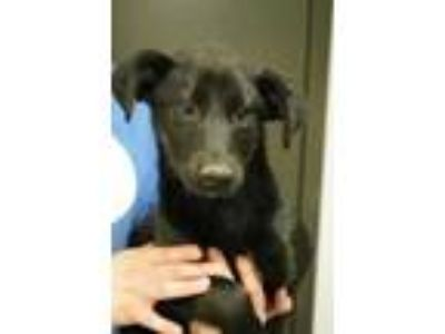 Adopt Brit a Black English Shepherd / Mixed dog in Bridgewater, NJ (25307365)