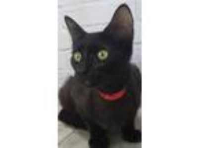 Adopt Molly Mia a All Black Domestic Shorthair / Domestic Shorthair / Mixed cat