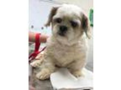 Adopt Lily a Tan/Yellow/Fawn Lhasa Apso / Mixed dog in Columbia City