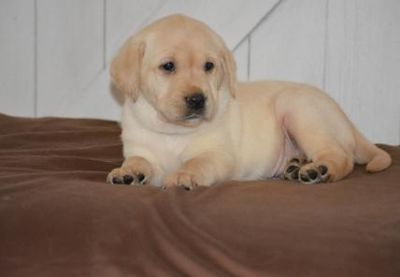 UYHFCGHEF Labrador Retriever Puppies