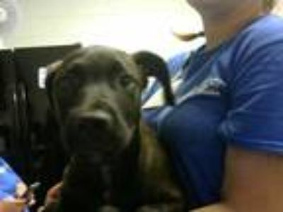 Adopt a Brown/Chocolate Labrador Retriever / Mixed dog in Fayetteville