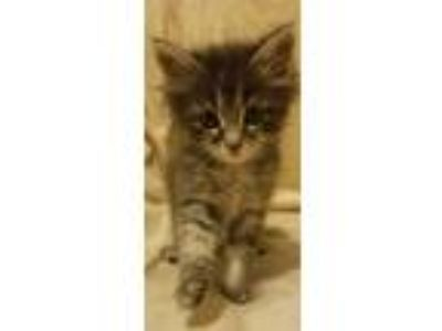 Adopt Chuckles a Maine Coon, Domestic Medium Hair