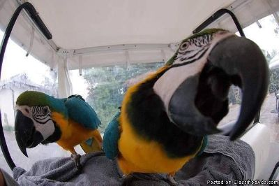 Home trained Blue and Gold Macaw!