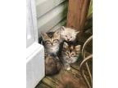 Adopt Game of Thrones kittens a Maine Coon