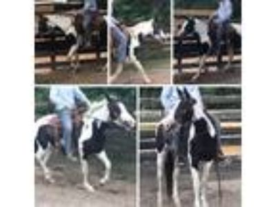 Started under saddle calm loving mellow Tobiano paint mare