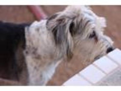 Adopt Ace a Terrier