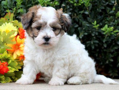 Zuchon PUPPY FOR SALE ADN-52141 - Shichon Puppy For Sale