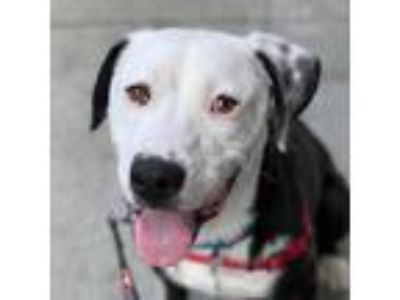 Adopt Mason a Black American Pit Bull Terrier / Border Collie / Mixed dog in San