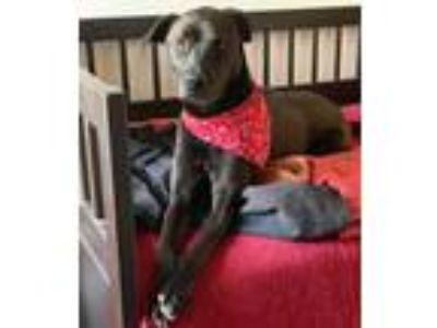 Adopt Clara a Labrador Retriever