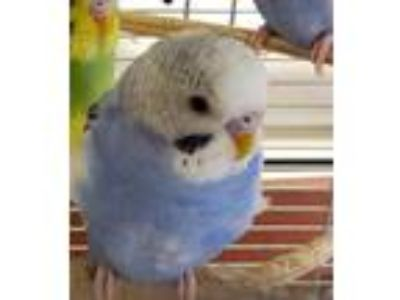 Adopt Blackberry a Blue Budgie / Budgie / Mixed bird in Auburn, WA (25520067)