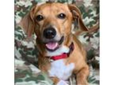 Adopt Lucky a Tan/Yellow/Fawn - with White Dachshund / Mixed dog in Tavares
