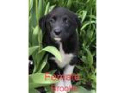 Adopt Brooke and bros a Brown/Chocolate - with Black Border Collie / Labrador