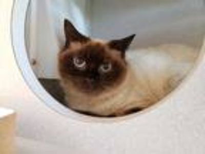 Adopt *HELEN a Brown or Chocolate (Mostly) Siamese / Mixed (short coat) cat in