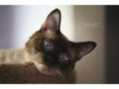 Adopt Ellis a Siamese / Mixed (short coat) cat in Hoover, AL (25255401)