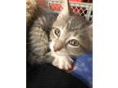 Adopt Musketeer a Gray, Blue or Silver Tabby Domestic Shorthair (short coat) cat