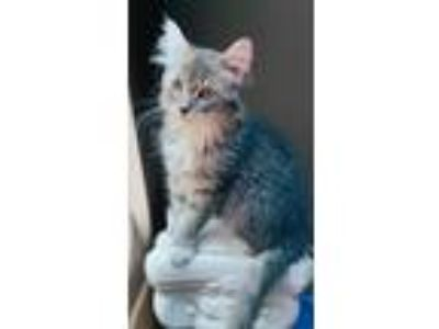 Adopt Sophia a Domestic Longhair / Mixed cat in Maywood, IL (25854199)