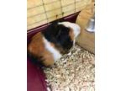 Adopt Roxie a Tan or Beige Guinea Pig / Guinea Pig / Mixed small animal in
