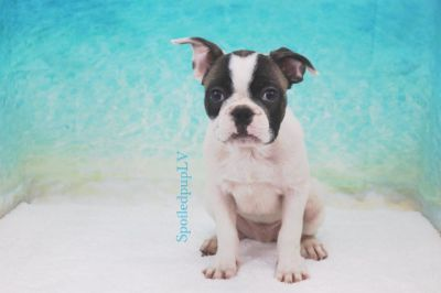 French Bulldog - Rollie - Male