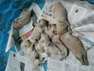 Golden Retriever PUPPY FOR SALE ADN-101679 - Golden Opportunity